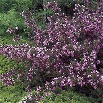 タニウツギ フロリダ Foliis Purpureis