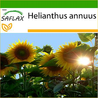 Saflax - 20 Samen - mit Erde - Sonnenblume Titan - Tournesol Titan - Girasole Titan - Girasol Titan - Sonnenblume Titan