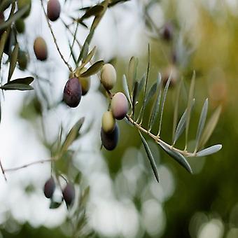Olea europaea sylvestris (wilde olijfboom)-plant