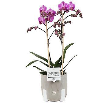 Vlinder orchidee met verschillende bloemkleuren | Phalaenopsis Snow Flake