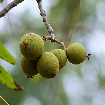 Juglans nigra (zwarte walnoot)-plant