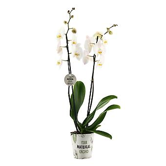 """Your Natural Orchid - Sustainable Phalaenopsis Orchid """"White"""" with YNO potcover - height 55-65 cm"""