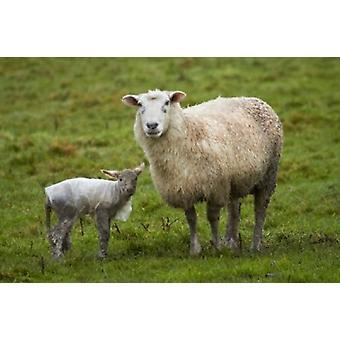 Sheep and lamb Taieri Plains Otago New Zealand Poster Print by David Wall