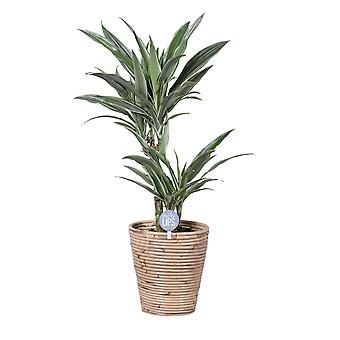 MoreLIPS® - Drakenbloedboom - in mand Rory - hoogte 60-70 cm - potdiameter: 20 cm - Dracaena deremensis Warneckei