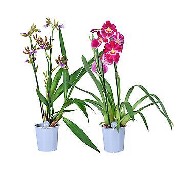 MoreLIPS® - Orchid-Set - 1x Miltonia + 1x Zygopetalum 'Sensation'  -  2 tak - in kweekpot - hoogte 50-60 cm