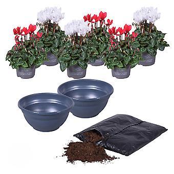 MoreLIPS® - Alppivioletti DIY parveke kasvissarja 6X Alppivioletti - mukaan lukien potting maaperä Cyclamen