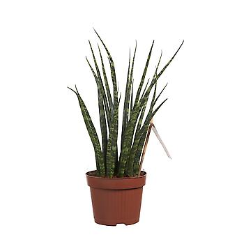Indoor tree from Botanicly – Snake plant – Height: 40 cm – Sanseveria Fernwood Mikado