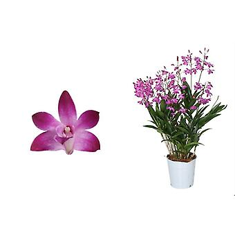 Orchid från Botanicly - Bamboo orkidé rosa - Höjd: 40 cm, 6 stjälkar - Dendrobium Berry Oda