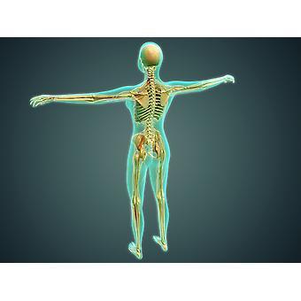 """التوضيح الطبية لجسم الإنسان تظهر الأوردة الشرايين نظام الهيكل العظمى والجهاز العصبي """"طباعة ملصق"""""""
