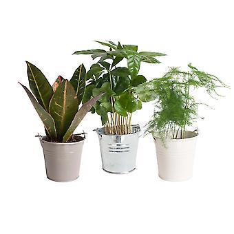 Plantas Interiores – 3 × Fábrica de Café – Altura: 20 cm