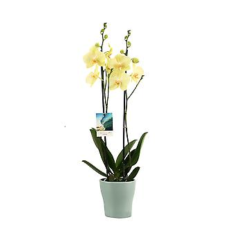 Your Natural Orchid - Sustainable Phalaenopsis Orchid Yellow in Travelvibes Ceramic Pot - height 55-65 cm