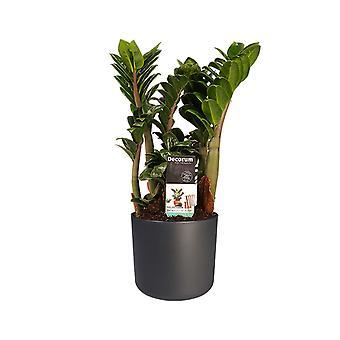 Plante ZZ ↕ 40 à 40 cm disponible avec jardinière | Zamioculcas Zenzi