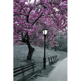 New York City Central Park Blossom Poster Poster Print