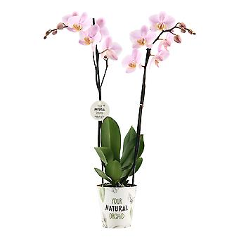 """Your Natural Orchid - Phalaenopsis Orchid """"Pink"""" with YNO potcover - height 55-65 cm"""