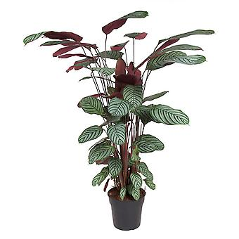 Kamerplant van Botanicly – Calathea oppenheimiana – Hoogte: 120 cm