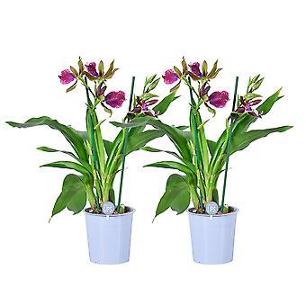 MoreLIPS® - Orchid - 2X Zygopetalum 'Cher' - 2 tak - in kweekpot - hoogte 45-55 cm