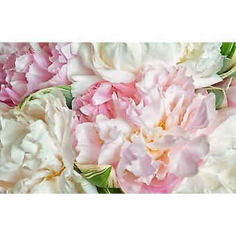 Behang Mural Blooming pioenrozen