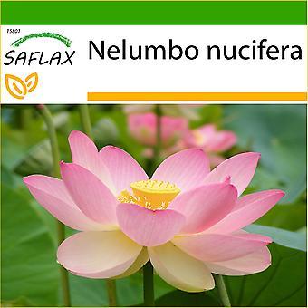 Saflax - 8 Samen - mit Boden - heiligen indischen Lotus - Lotus Sacré - Fior di Loto asiatisch - Lloto Sagrado - Indische Lotusblume