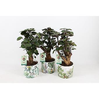 Zimmerpflanzen – 3 × Fiederaralie  in gemusterten Keramik Übertopf als Set – Höhe: 40 cm