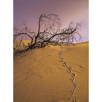 Raven tracce attraverso la duna di sabbia sul lago Oregon Stati Uniti d'America Poster stampa da Robert L Potts Design Pics