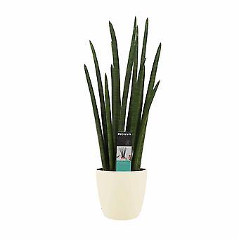 Plante d'intérieur de Botanicly – African Spear – Hauteur: 70 cm – Sansevieria Cylindrica