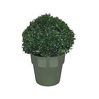 Hagen en struiken van Botanicly – Ilex Crenata Stokes in groen pot als set – Hoogte: 35 cm
