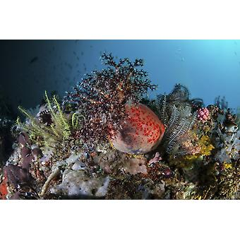 A colorful sea apple clings to a reef in indonesia Poster Print