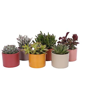Indoor Plants from Botanicly – 6 × Succulent Mix – Height: 18 cm – Succulentus