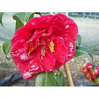 Camellia japonica Apollo