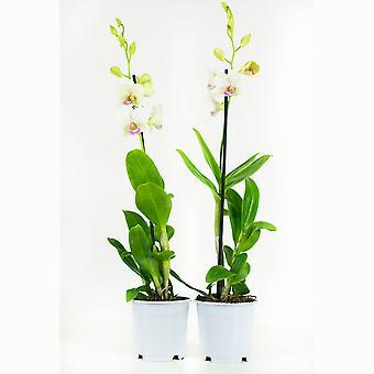 Orchidea da Botanicly – 2 × Dendrobium Sa-Nook – Altezza: 55 cm, 1 germoglio