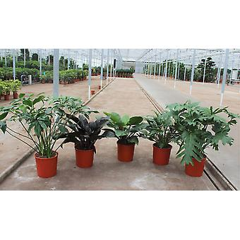 Kamerplant van Botanicly – Philodendron Mix – Hoogte: 90 cm