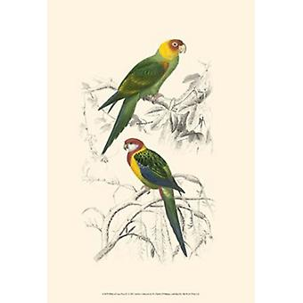 Birds of Costa Rica IV Poster Print by C Dorbigney (13 x 19)