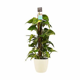 Plante d'intérieur de Botanicly – Lierre du diable – Hauteur: 80 cm – Epipremnum Aureum