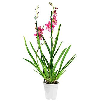Keuze van Green - 1 Cambria Nelly Isler - orchidee