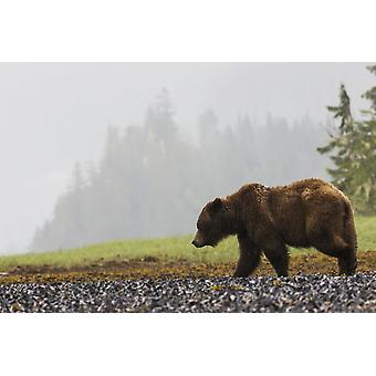 Grizzly bear walking on shore of Khutzymateen Grizzly Bear Sanctuary Prince Rupert British Columbia Canada PosterPrint