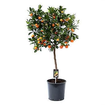 Citrus Calamondin - Height 110 - Diameter pot 26