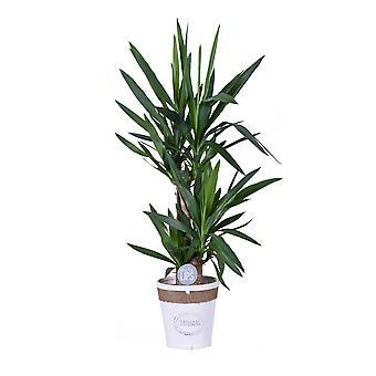 MoreLIPS® - Yucca - in weißem SpanholzTopf - Höhe 80-90 cm - Topfgröße: 19 cm - Yucca elephantipes - Your Green Present