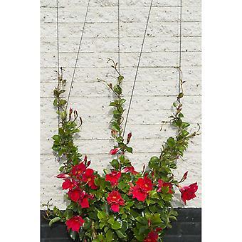 Natuur rang touw systeem voor klimplanten 6040760