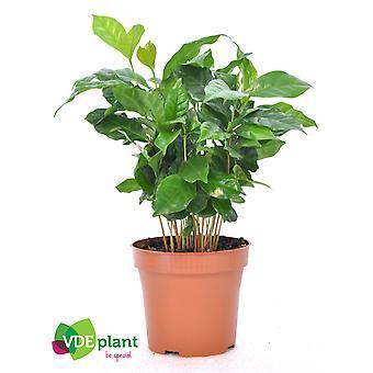 Zimmerpflanze von Botanicly – Kaffeestrauch – Höhe: 20 cm – Coffea Arabica