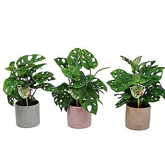 Indoor Plants from Botanicly – 3 × Monstera Monkey Leaf – Height: 30 cm
