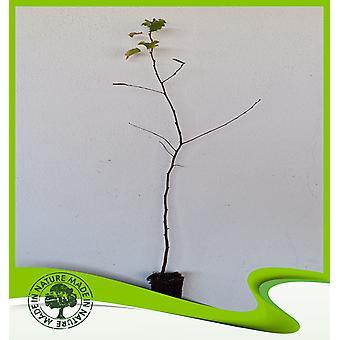 Betula pendula (Zilver berk) - Plant