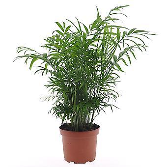 Roślina w pomieszczeniach z Botanicznie – Parlour Palm – Wysokość: 60 cm – Chamaedorea elegans
