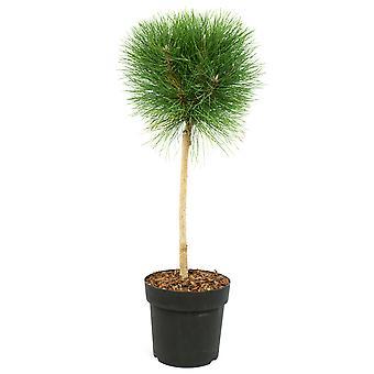 Träd från Botanicly – Pinus Summer Breeze – Höjd: 40 cm