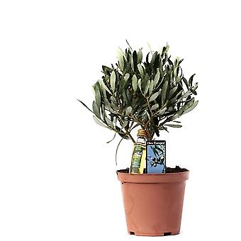 Pianta d'appartamento da Botanicly – Olivo – Altezza: 23 cm – Olea europeae