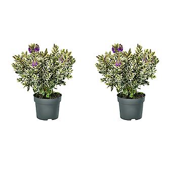 Hedges & Shrubs from Botanicly – 2 × Hebe Addenda Classica – Height: 45 cm