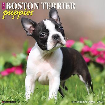 Bara Boston Terrier Valpar 2022 Wall Calendar Dog Breed av Willow Creek Press