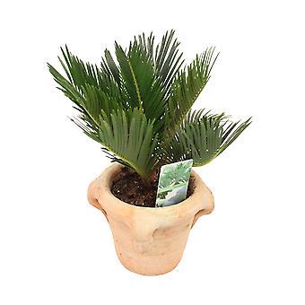 Plante d'intérieur – Cycas du Japon en pot de fleur terre cuite comme un ensemble – Hauteur: 35 cm