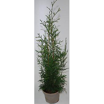 Tree of life Brabant 30 units for 7.5 m hedge Thuja occidentalis Brabant 50-70 cm
