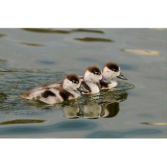 Common Shelduck three ducklings swimming together Slimbridge Gloucestershire England Poster Print by Malcolm Schuyl