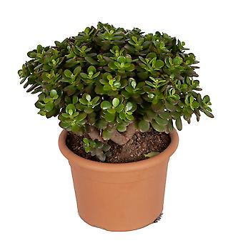 Kamerplant van Botanicly – Jadeplant – Hoogte: 40 cm – Crassula Minor Canarias